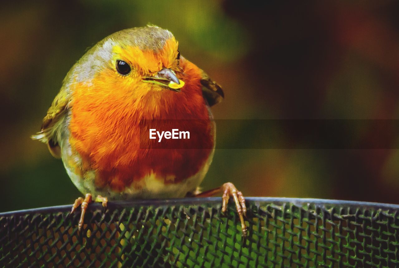 bird, animal themes, animal, vertebrate, animal wildlife, animals in the wild, focus on foreground, one animal, close-up, perching, day, no people, selective focus, nature, outdoors, songbird, yellow, orange color