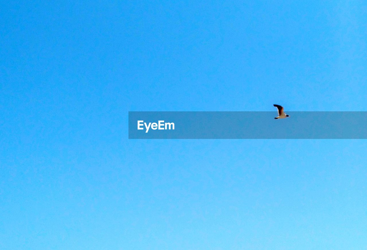 copy space, bird, animal themes, flying, clear sky, one animal, blue, animals in the wild, animal wildlife, low angle view, day, outdoors, no people, nature, mid-air, spread wings, bird of prey, sky