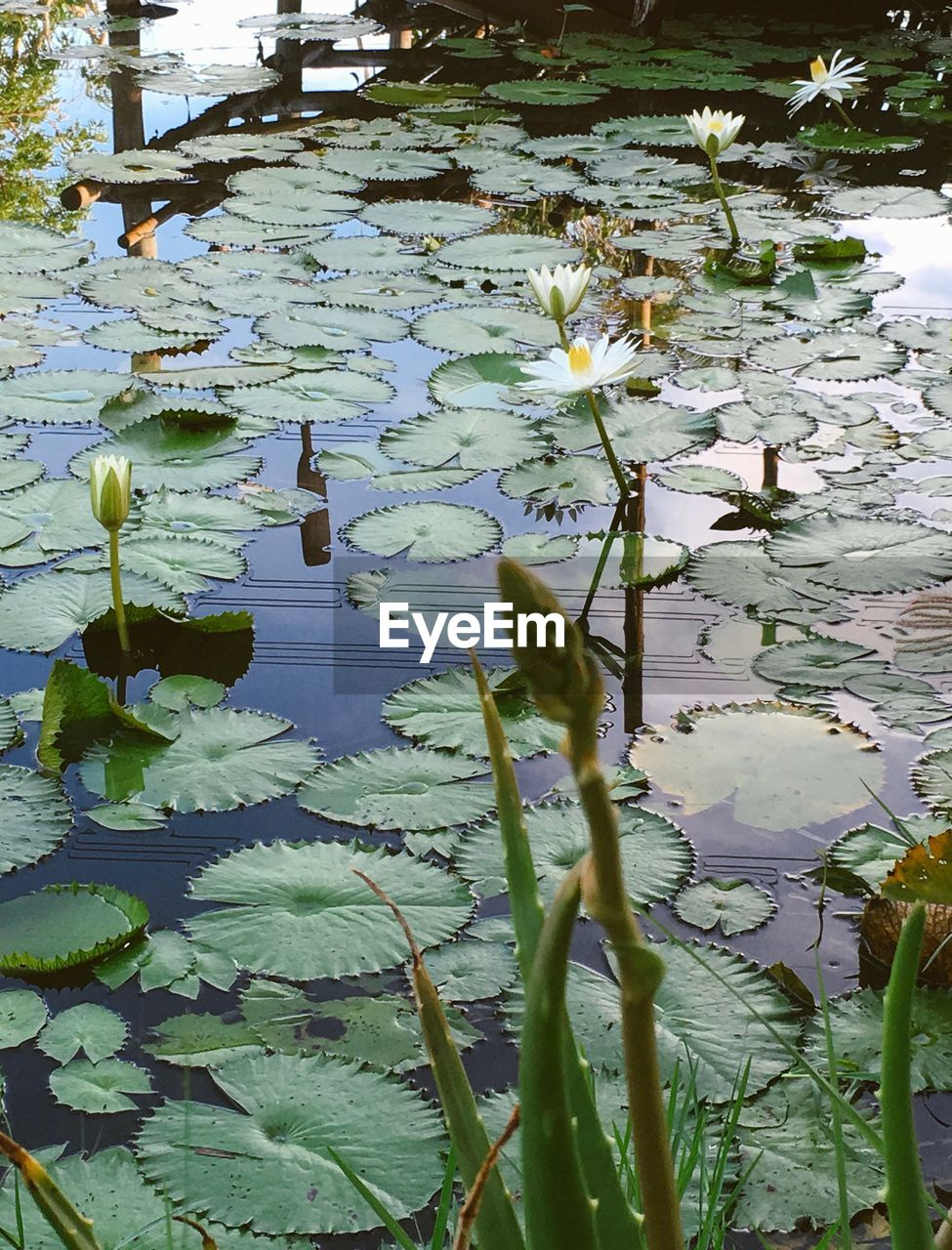 leaf, growth, nature, floating on water, water, plant, flower, water lily, lily pad, beauty in nature, no people, lake, outdoors, day, tranquility, lotus water lily, fragility, freshness, close-up, flower head