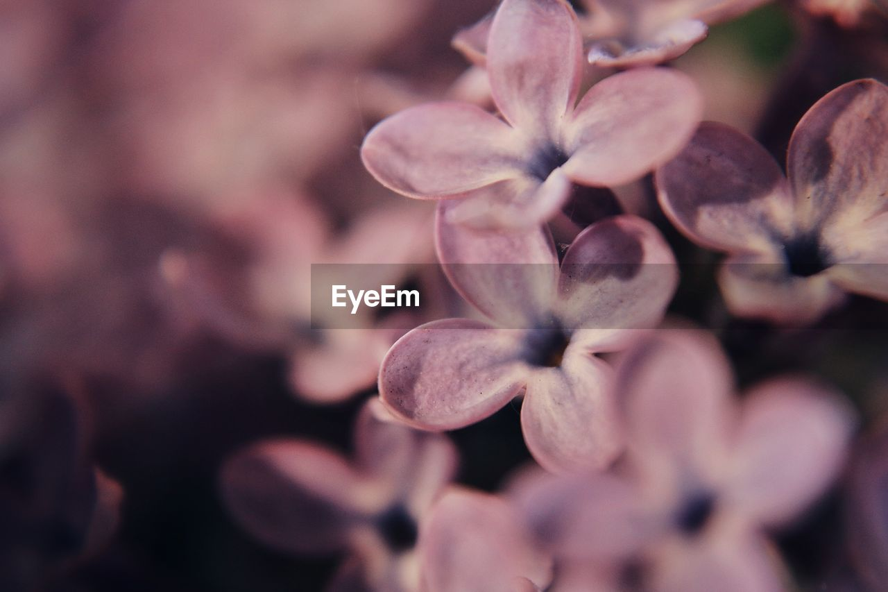flower, fragility, flowering plant, vulnerability, close-up, plant, petal, selective focus, beauty in nature, freshness, growth, flower head, inflorescence, no people, nature, day, outdoors, springtime, pink color, full frame, purple, lilac