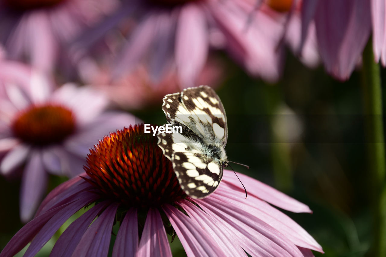 flowering plant, flower, fragility, vulnerability, beauty in nature, freshness, petal, flower head, plant, growth, animal themes, one animal, invertebrate, close-up, inflorescence, focus on foreground, insect, pink color, animal wildlife, coneflower, pollination, pollen, no people, butterfly - insect, animal wing, outdoors, purple, butterfly