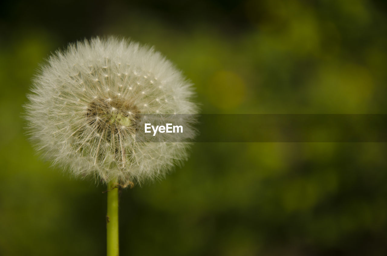 dandelion, flower, nature, fragility, growth, beauty in nature, close-up, softness, plant, focus on foreground, outdoors, seed, freshness, no people, day, flower head
