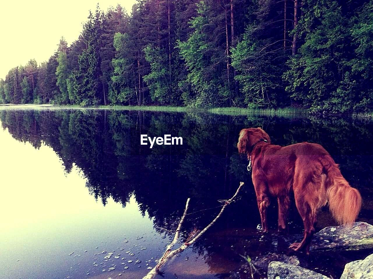 domestic animals, dog, one animal, pets, animal themes, mammal, water, tree, lake, reflection, no people, outdoors, nature, day, full length, sky, retriever