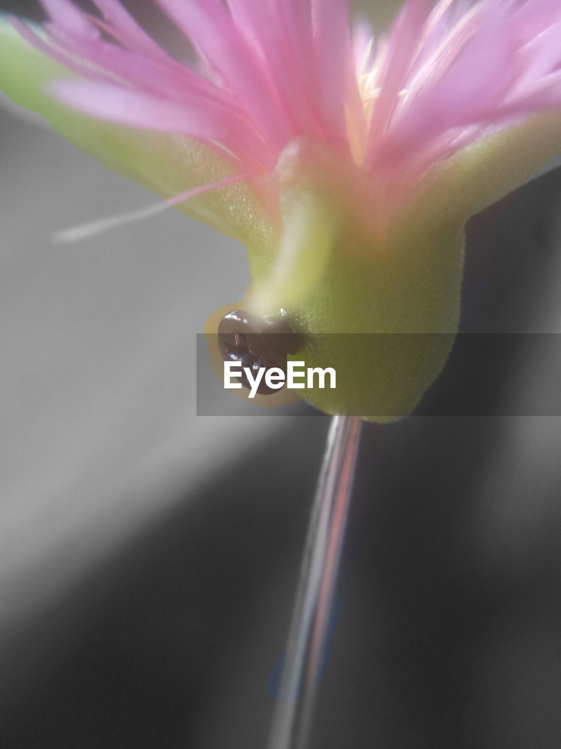 flower, fragility, freshness, water, drop, close-up, beauty in nature, petal, growth, nature, plant, selective focus, flower head, single flower, wet, purity, focus on foreground, dew, no people, pink color