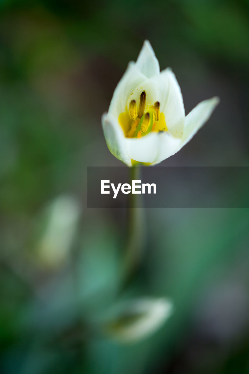 flower, flowering plant, freshness, beauty in nature, plant, fragility, vulnerability, petal, flower head, growth, inflorescence, close-up, yellow, nature, white color, no people, day, selective focus, focus on foreground, outdoors, pollen, purity