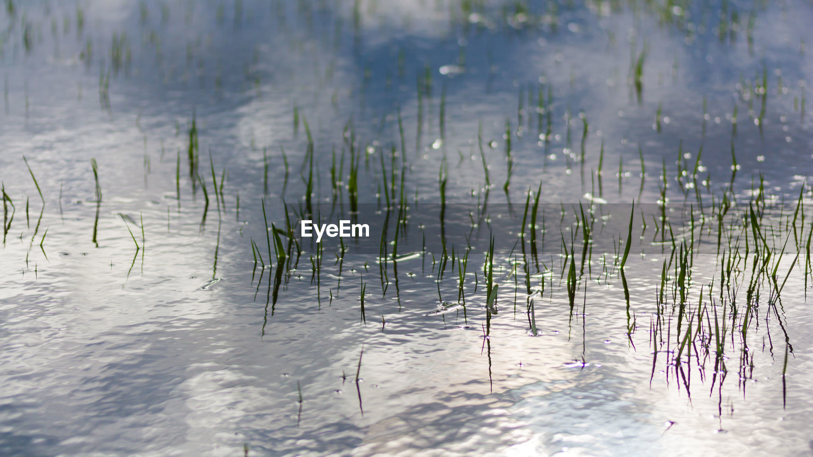 PLANTS IN LAKE