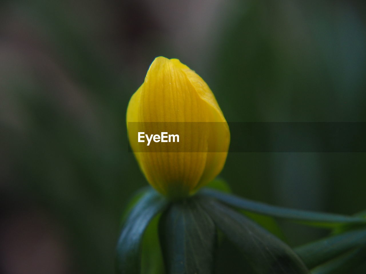 freshness, fragility, vulnerability, flowering plant, flower, beauty in nature, plant, yellow, close-up, petal, inflorescence, growth, flower head, nature, focus on foreground, no people, day, outdoors, selective focus, sepal