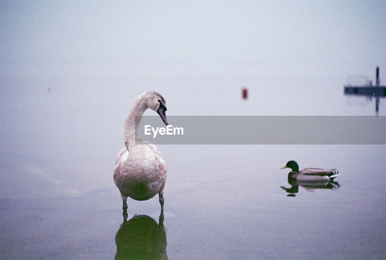 Swan And Mallard Duck On Lake