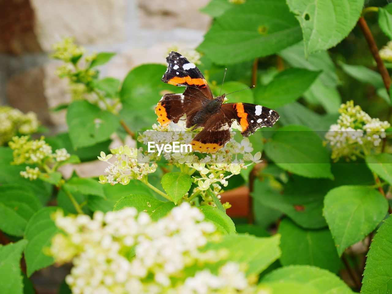flower, animal themes, flowering plant, animal wildlife, animal, animals in the wild, one animal, plant, invertebrate, insect, beauty in nature, growth, vulnerability, fragility, plant part, leaf, freshness, green color, flower head, close-up, pollination, butterfly - insect, animal wing, no people, lantana