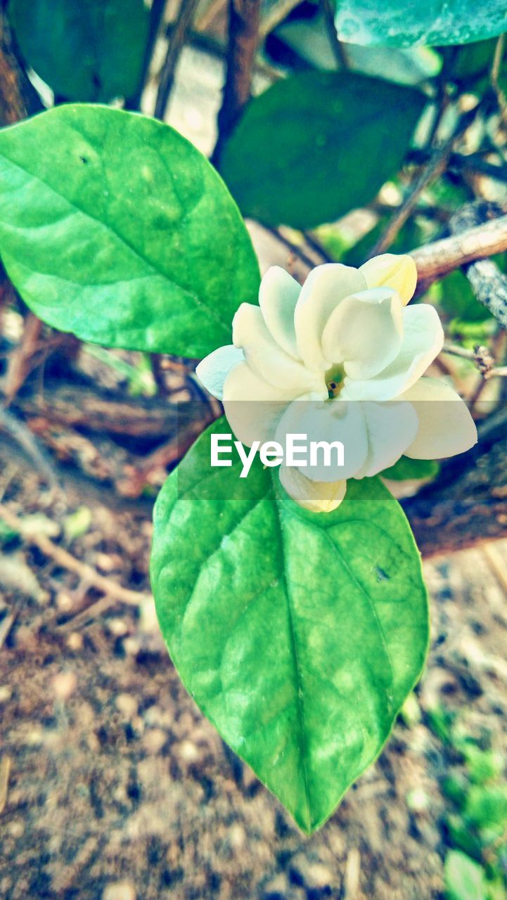 leaf, growth, beauty in nature, nature, green color, plant, flower, close-up, fragility, flower head, petal, freshness, no people, outdoors, day, focus on foreground, blooming, periwinkle