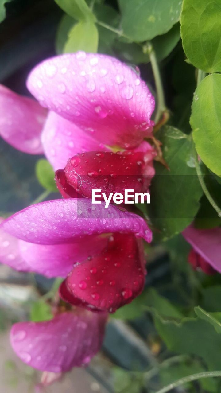 growth, nature, beauty in nature, plant, freshness, pink color, day, flower, close-up, outdoors, no people, fragility, leaf, flower head