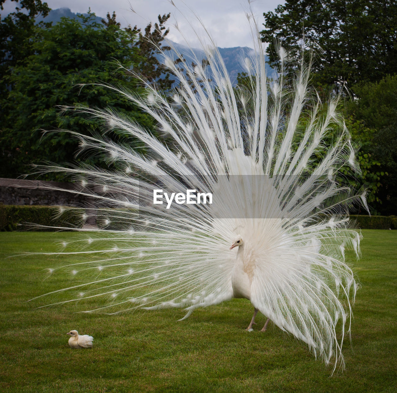 bird, animal, animal themes, vertebrate, plant, peacock, feather, grass, animal wildlife, nature, animals in the wild, fanned out, one animal, no people, day, peacock feather, beauty in nature, white color, outdoors, animal behavior