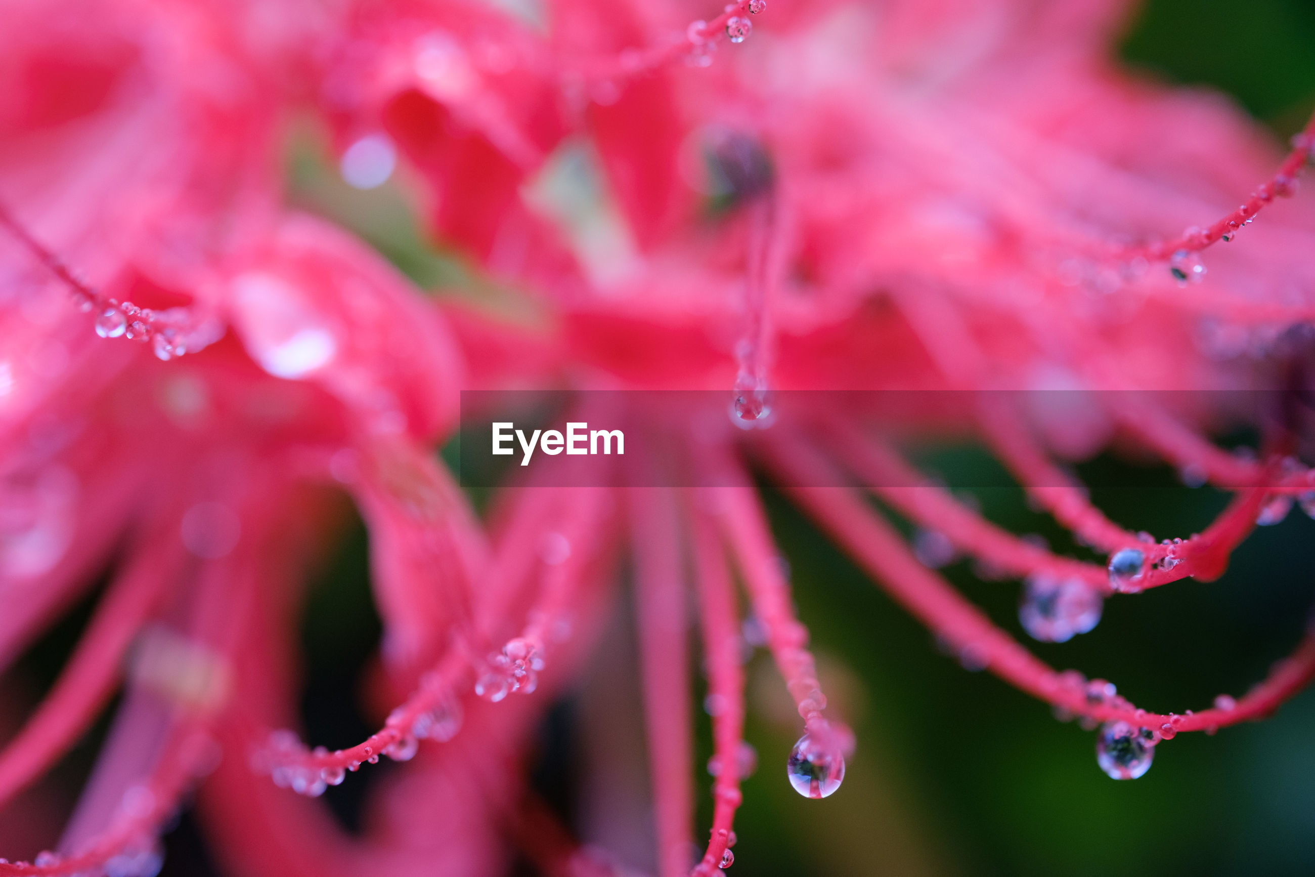 CLOSE-UP OF WATER DROPS ON RED LEAVES