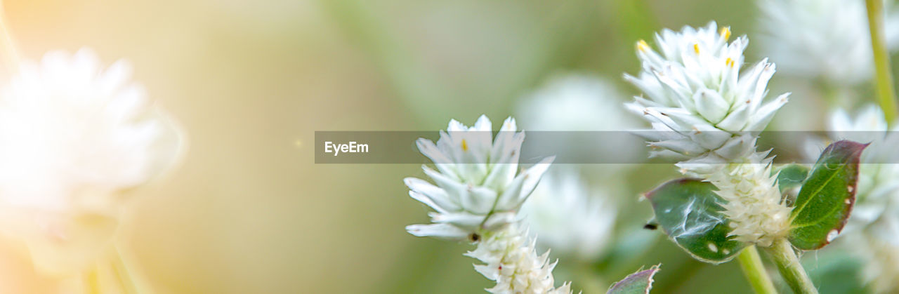 flower, flowering plant, plant, beauty in nature, vulnerability, fragility, growth, close-up, freshness, nature, focus on foreground, flower head, petal, no people, white color, selective focus, day, inflorescence, outdoors, green color, flower arrangement