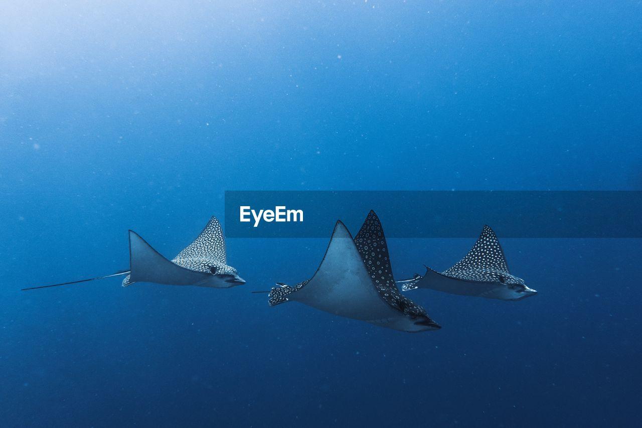 animal, sea, animal wildlife, animal themes, water, underwater, sea life, undersea, blue, fish, swimming, animals in the wild, marine, vertebrate, shark, nature, one animal, no people