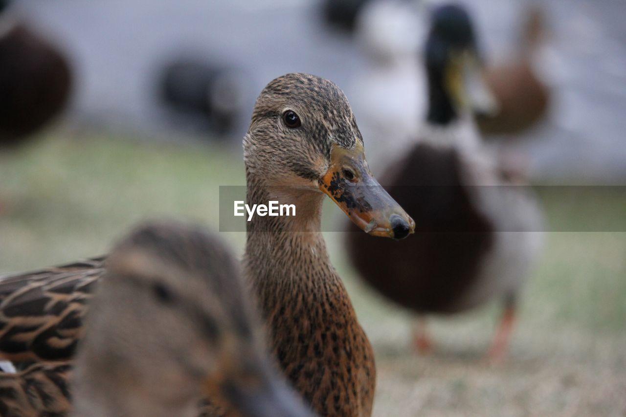 animal themes, bird, animals in the wild, animal wildlife, beak, one animal, focus on foreground, day, duck, water bird, close-up, goose, nature, outdoors, no people, greylag goose, water