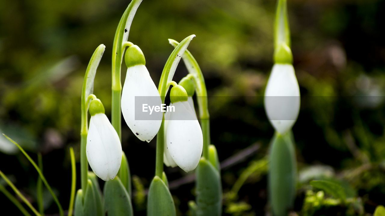 Snowdrops Close-Up