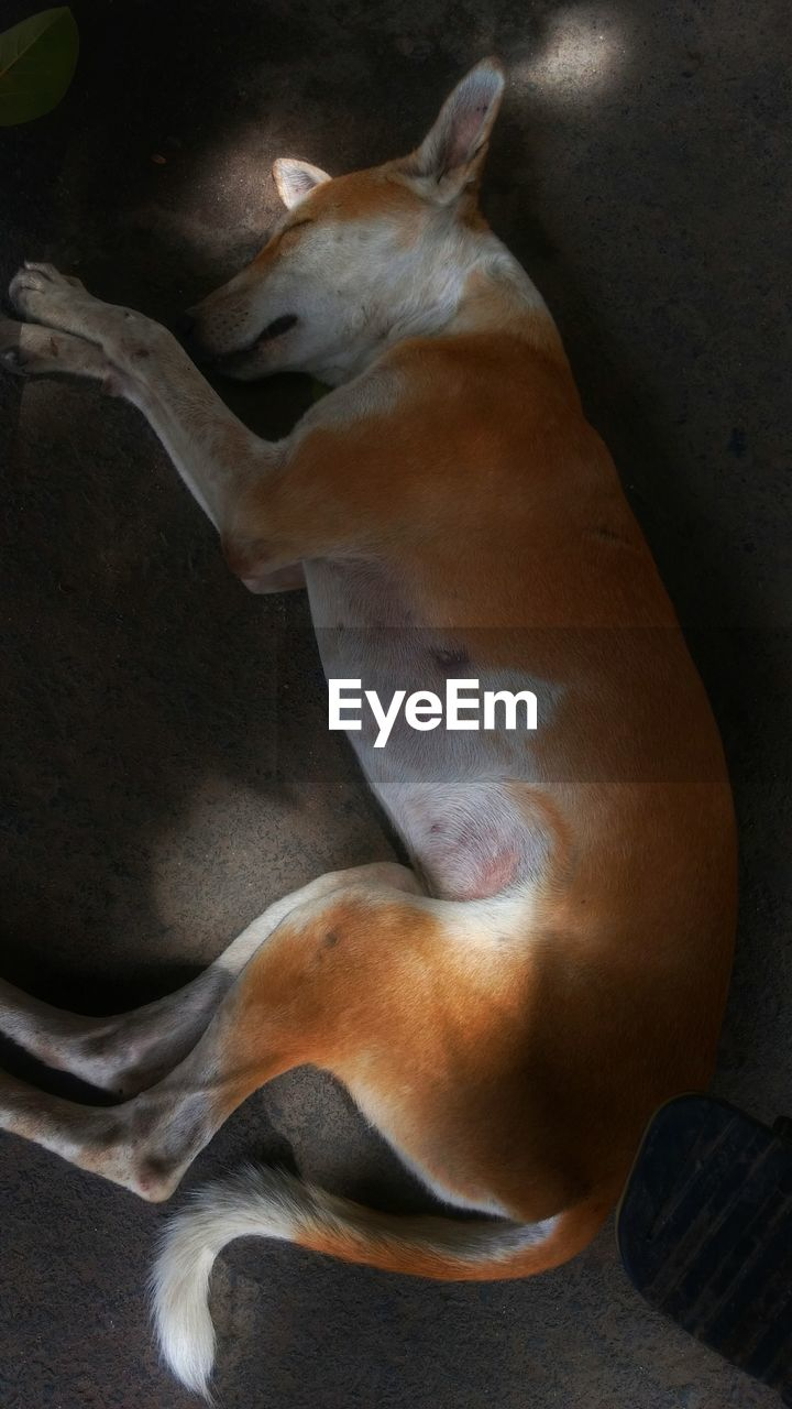 animal themes, mammal, domestic animals, pets, dog, high angle view, one animal, relaxation, indoors, no people, day, nature