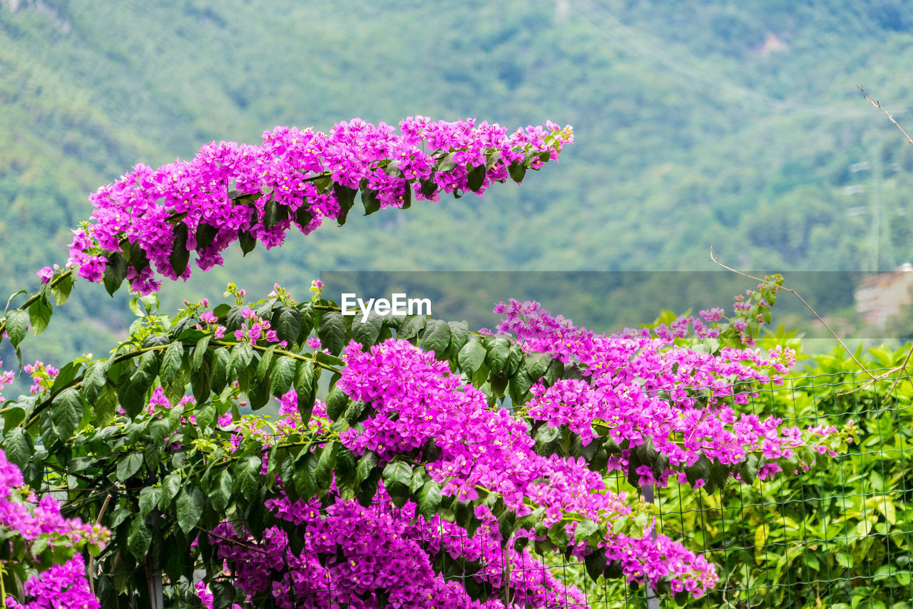 flower, flowering plant, plant, beauty in nature, pink color, growth, freshness, vulnerability, fragility, nature, focus on foreground, day, no people, close-up, flower head, green color, inflorescence, petal, outdoors, selective focus, purple, springtime, lilac, spring