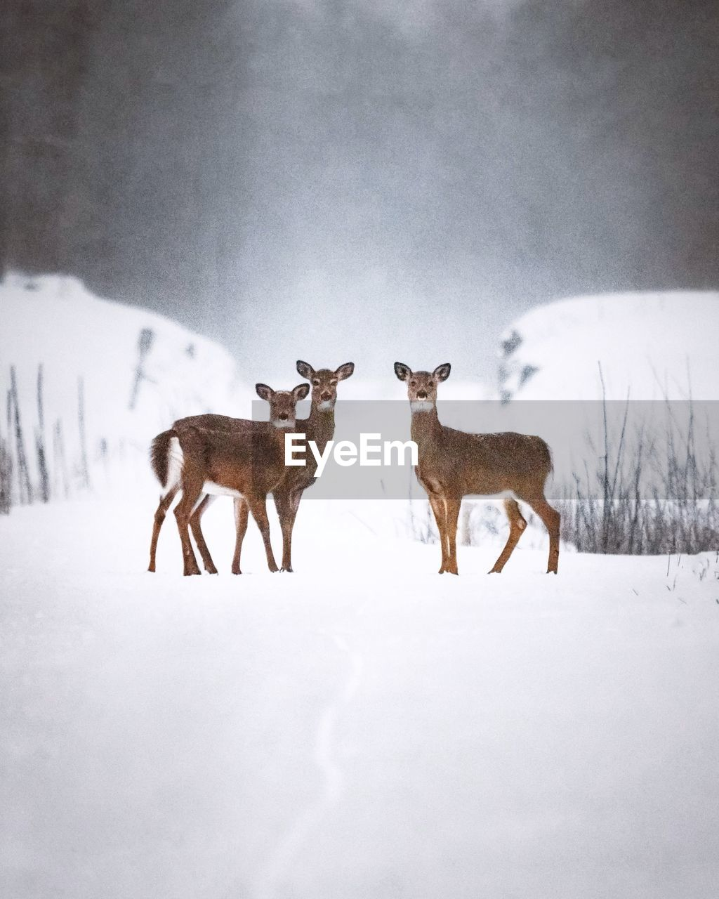 Three deer in snow