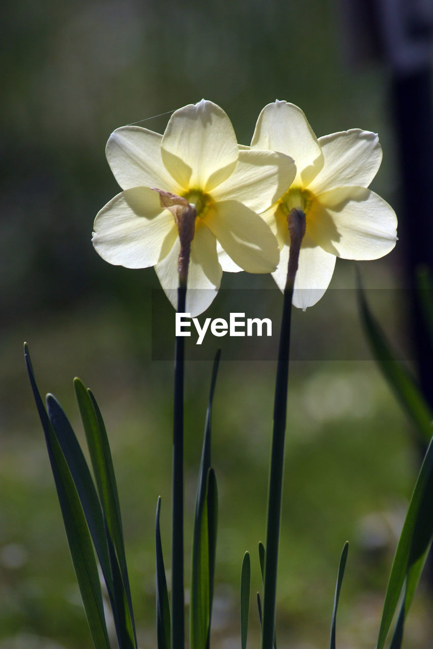 flower, growth, petal, fragility, nature, beauty in nature, flower head, plant, freshness, focus on foreground, blooming, day, close-up, outdoors, no people, snowdrop