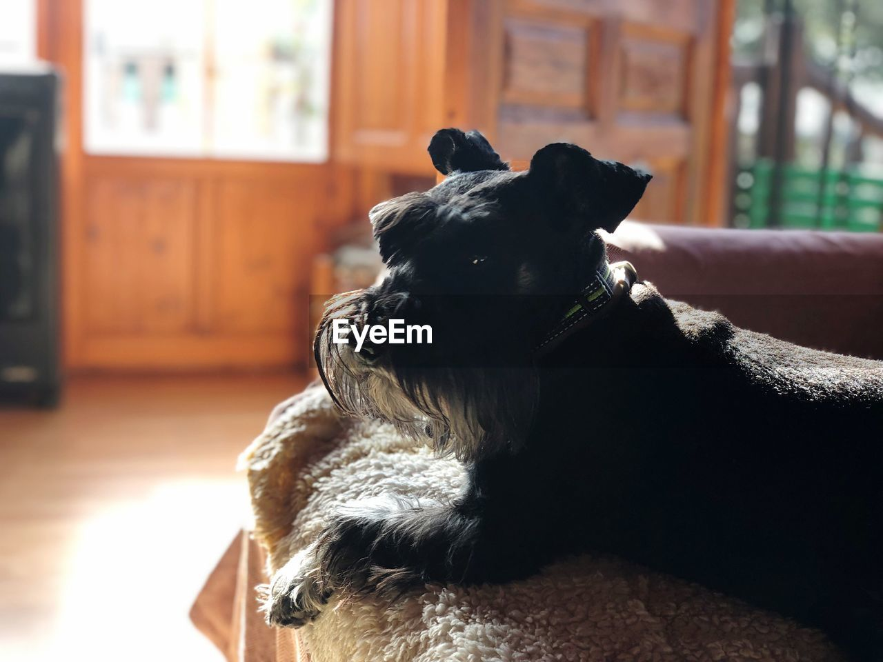 pets, one animal, domestic animals, mammal, domestic, animal themes, animal, canine, dog, vertebrate, home interior, indoors, relaxation, focus on foreground, no people, looking, home, black color, day, sitting, flooring, animal head