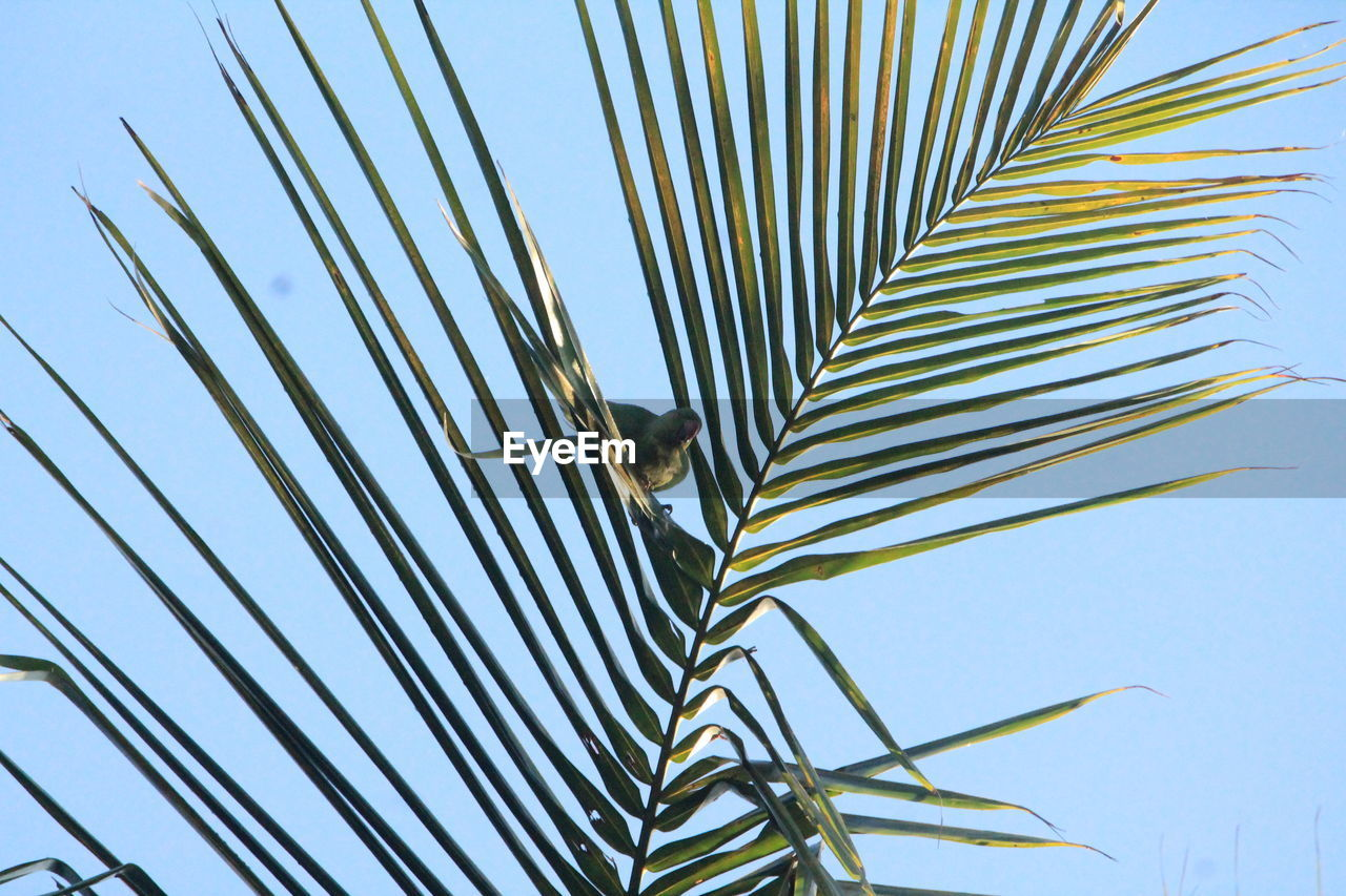 palm leaf, growth, leaf, palm tree, clear sky, no people, day, nature, outdoors, low angle view, close-up, frond, sky, beauty in nature, tree, freshness
