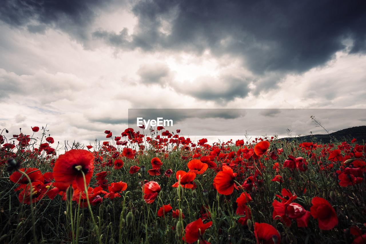 Poppies Blooming On Field Against Sky