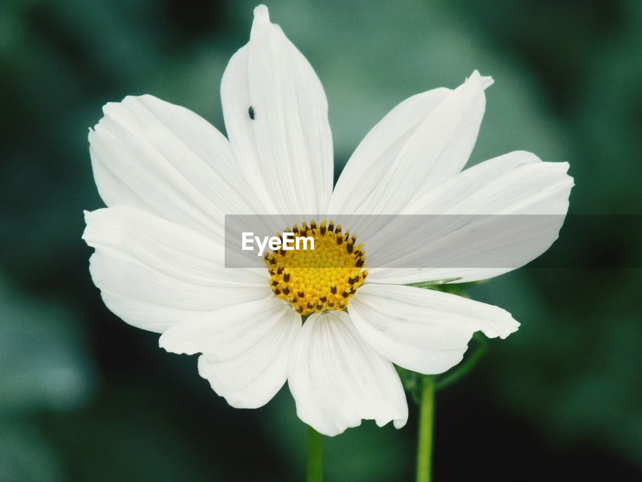 flowering plant, flower, fragility, vulnerability, petal, freshness, flower head, inflorescence, beauty in nature, plant, close-up, growth, white color, pollen, focus on foreground, day, nature, no people, yellow
