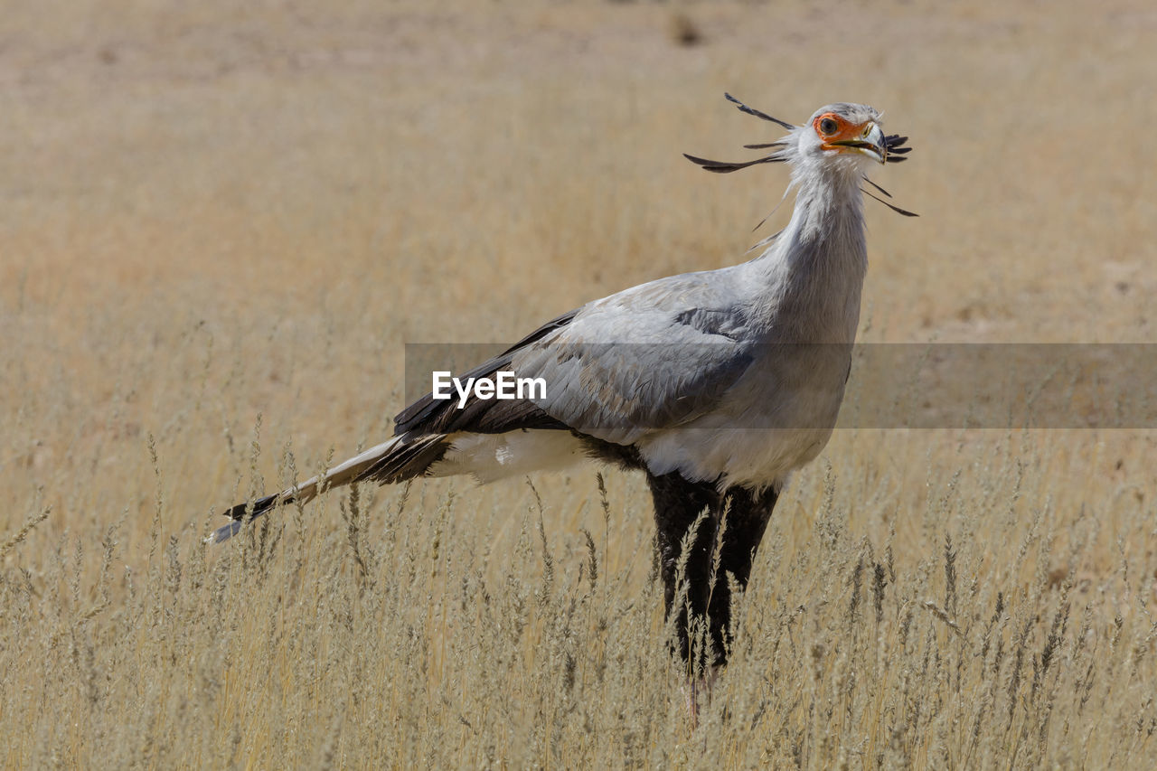 animals in the wild, bird, animal wildlife, one animal, vertebrate, no people, day, focus on foreground, nature, outdoors, looking, zoology, close-up, perching, land, beak, full length