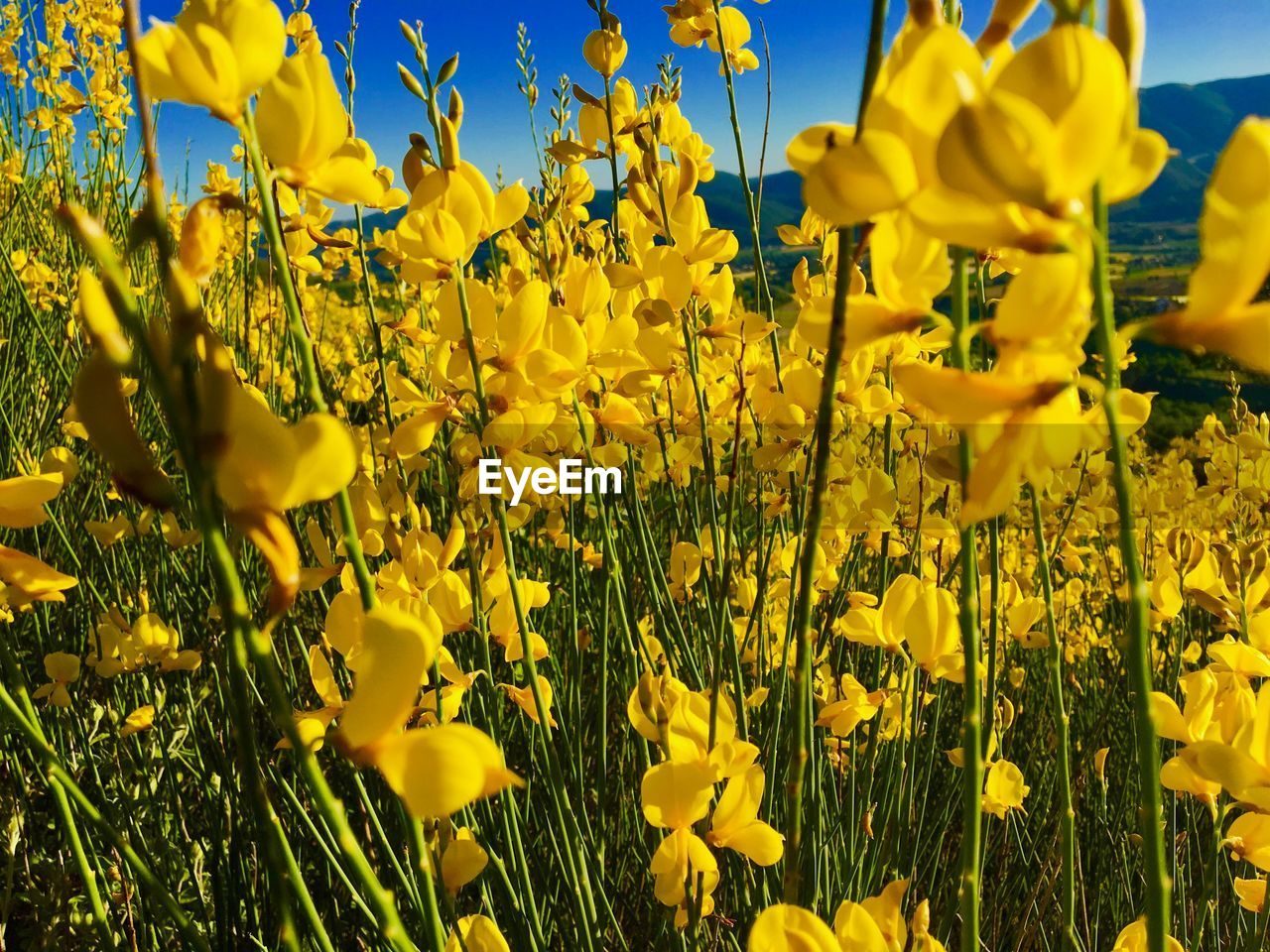 yellow, flower, flowering plant, plant, beauty in nature, growth, fragility, vulnerability, freshness, field, close-up, land, nature, petal, no people, day, oilseed rape, vibrant color, agriculture, flower head, springtime, outdoors