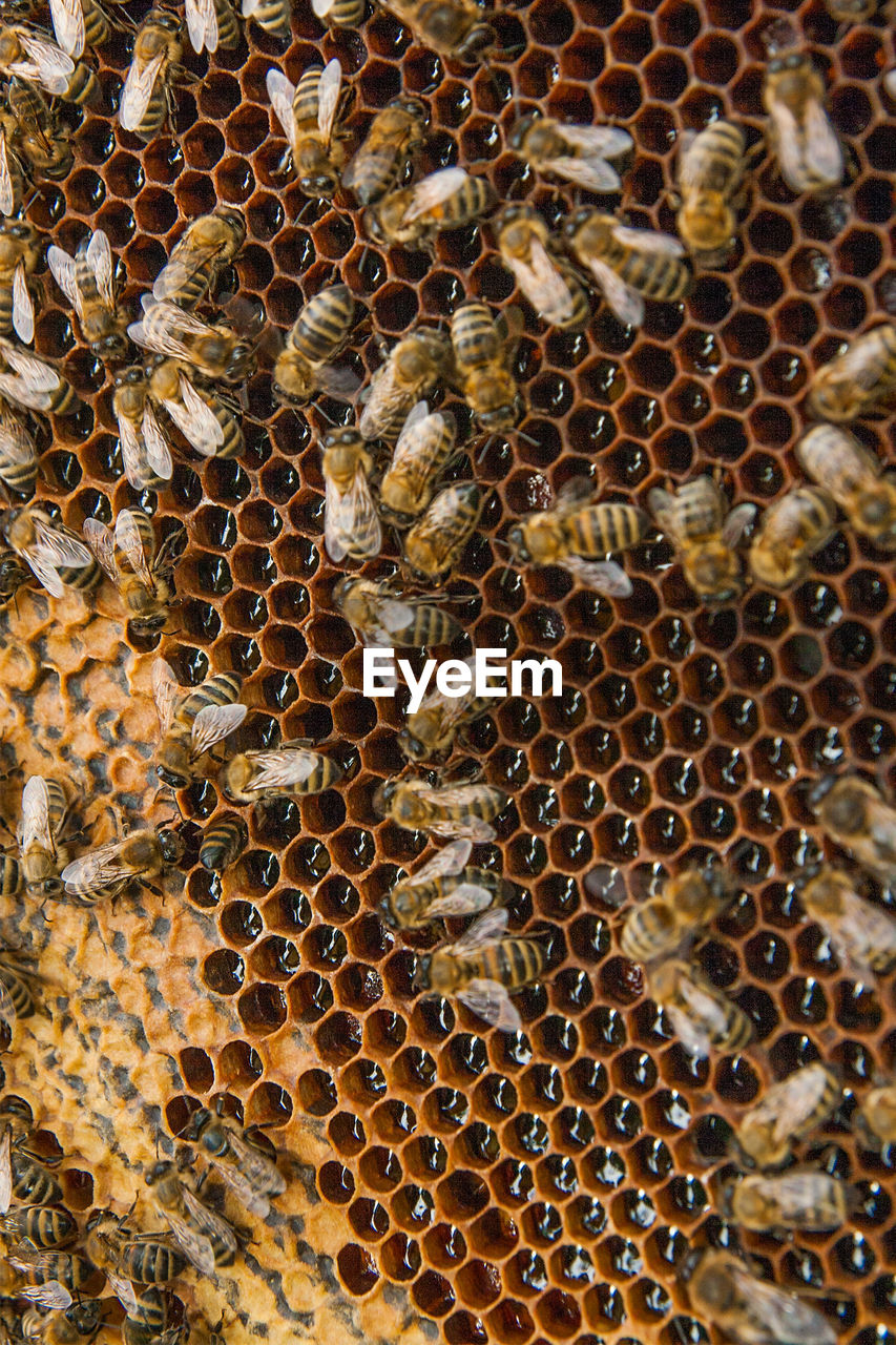 bee, apiculture, animal themes, beehive, animal, honeycomb, animals in the wild, animal wildlife, honey bee, group of animals, invertebrate, insect, large group of animals, close-up, no people, beauty in nature, full frame, nature, day, backgrounds