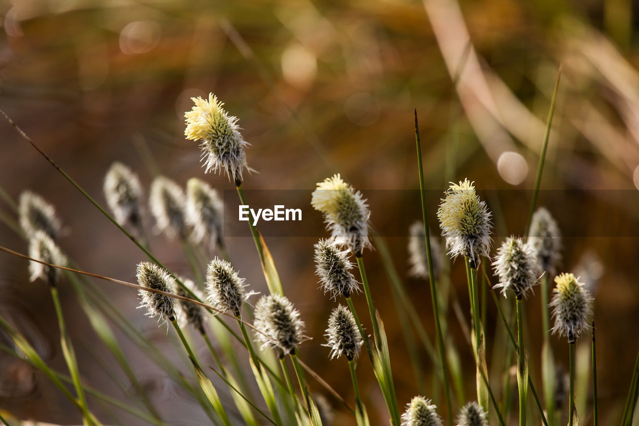 plant, growth, flower, fragility, beauty in nature, vulnerability, flowering plant, nature, close-up, freshness, focus on foreground, day, no people, selective focus, field, plant stem, outdoors, tranquility, inflorescence, dandelion, flower head, softness, dandelion seed, timothy grass, dried