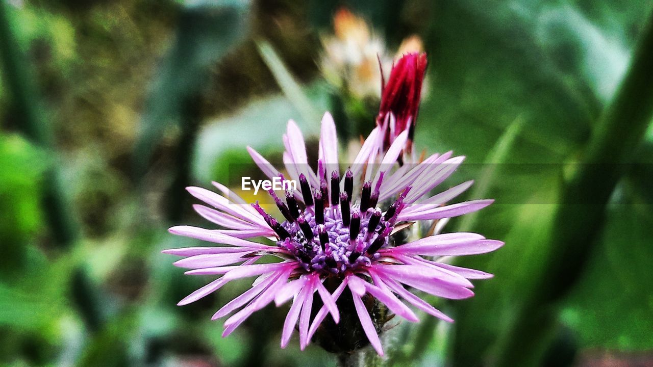 flowering plant, flower, plant, vulnerability, fragility, freshness, beauty in nature, growth, close-up, petal, inflorescence, flower head, nature, focus on foreground, no people, day, pink color, selective focus, purple, outdoors, pollen
