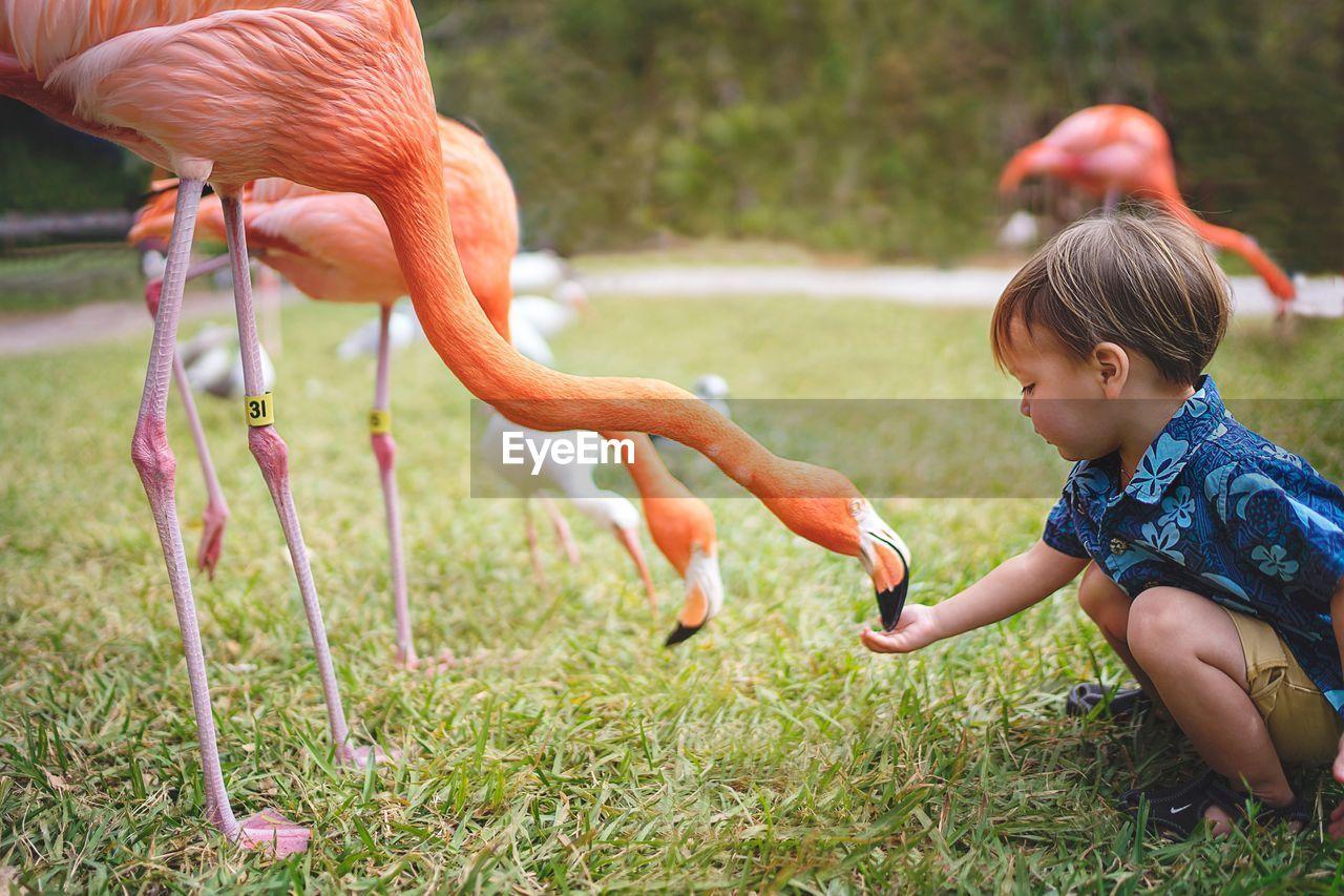 Side View Of Boy Feeding Flamingo On Grassy Field
