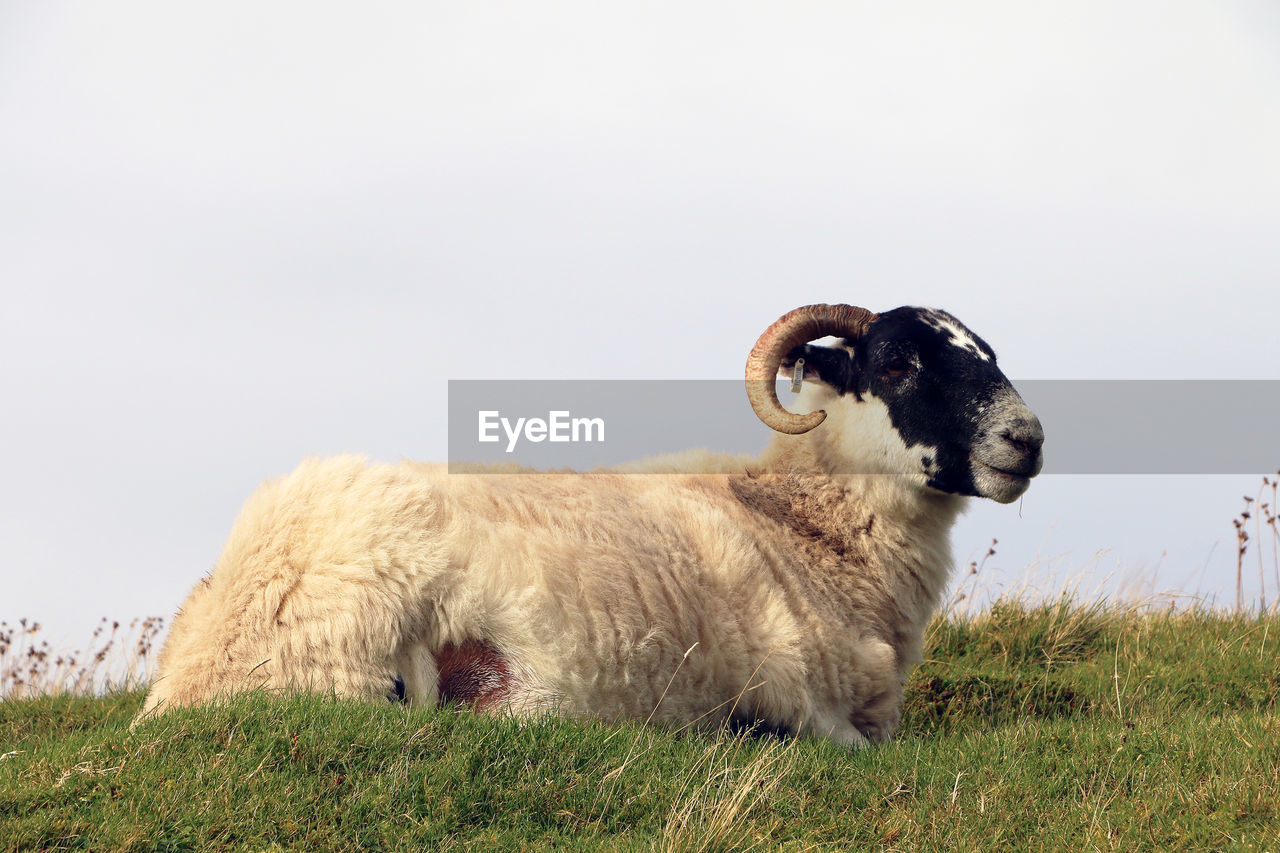 animal, animal themes, mammal, field, vertebrate, domestic animals, land, domestic, pets, sky, grass, livestock, nature, plant, copy space, clear sky, one animal, no people, sheep, cattle, herbivorous