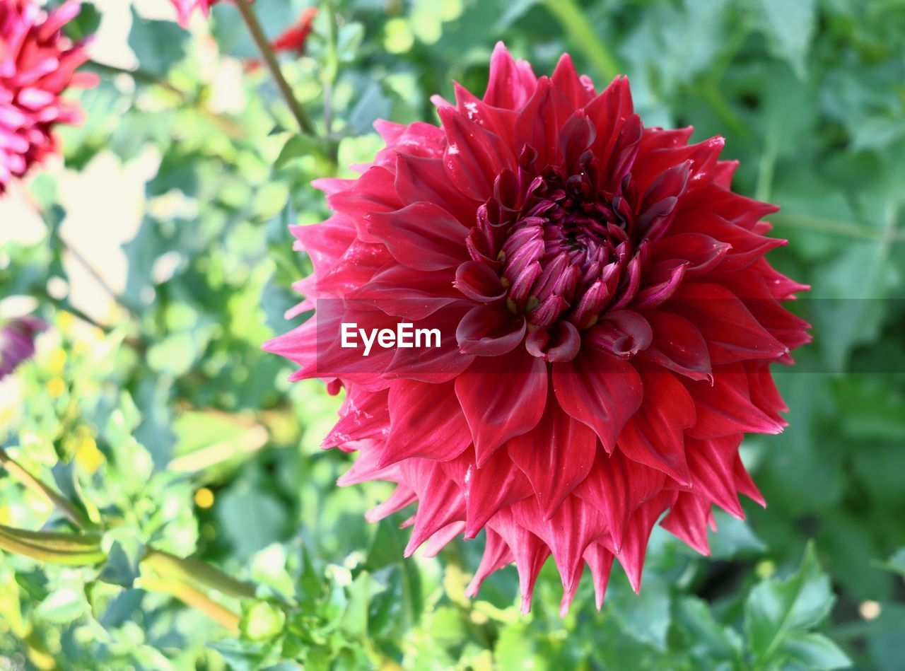 flowering plant, flower, plant, beauty in nature, freshness, vulnerability, growth, petal, fragility, close-up, flower head, inflorescence, focus on foreground, nature, dahlia, day, red, pink color, no people, park - man made space