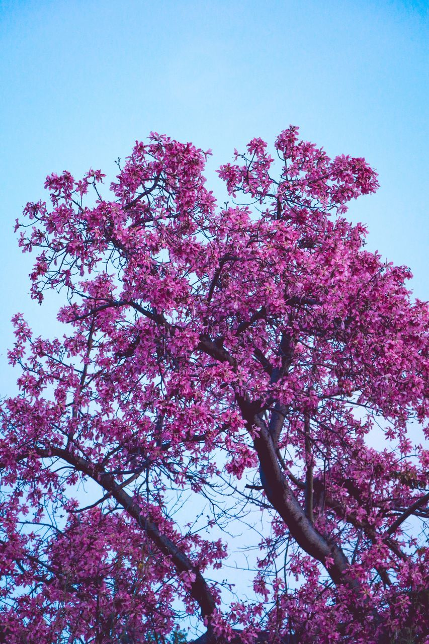 flower, low angle view, flowering plant, plant, pink color, tree, sky, growth, beauty in nature, blossom, fragility, branch, nature, springtime, freshness, vulnerability, day, clear sky, no people, outdoors, cherry blossom, cherry tree, spring, lilac