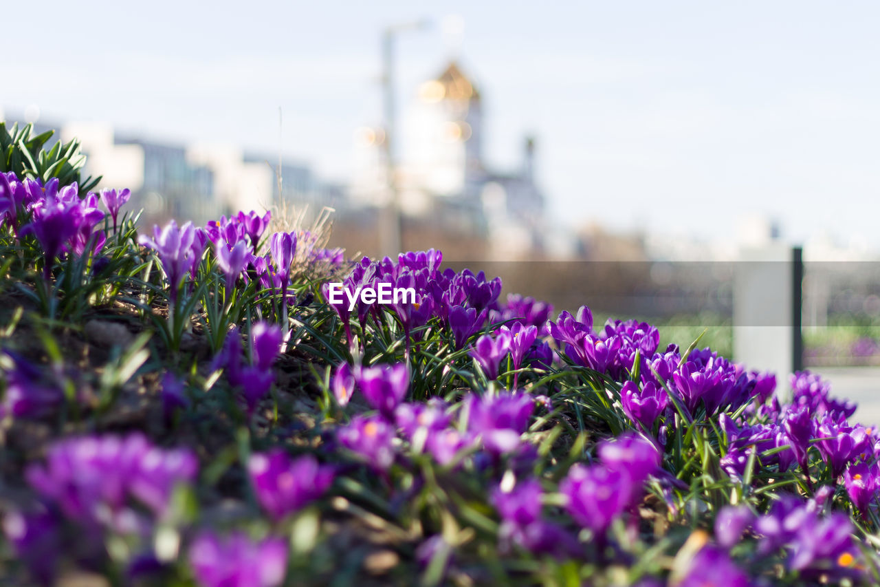 flower, flowering plant, plant, purple, freshness, selective focus, close-up, nature, vulnerability, growth, sky, fragility, day, beauty in nature, no people, inflorescence, petal, flower head, outdoors, focus on foreground, springtime, flowerbed