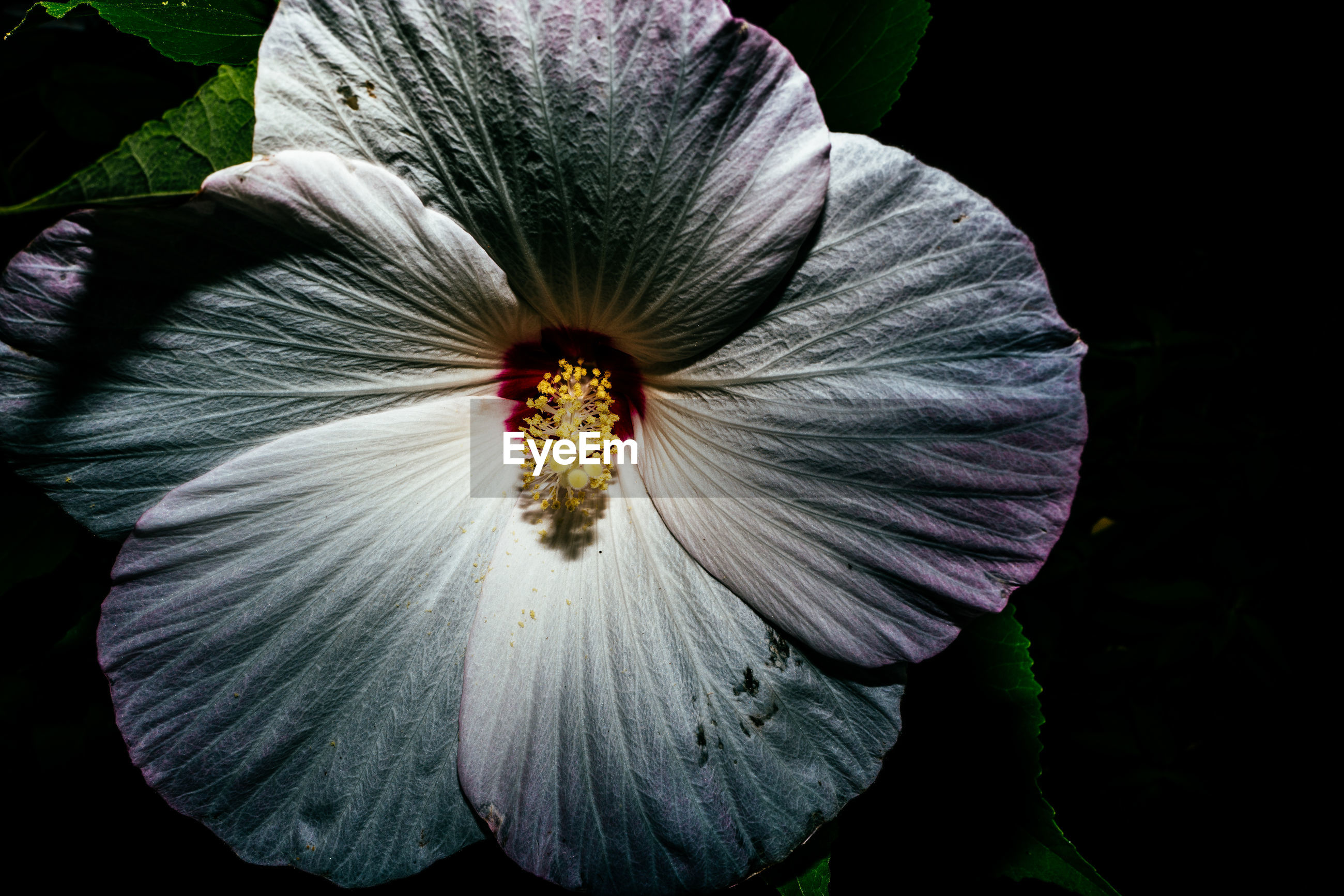 MACRO SHOT OF HIBISCUS FLOWER