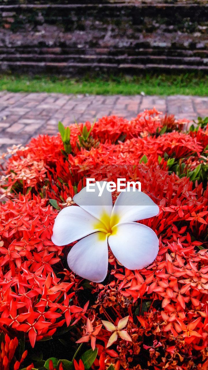 flowering plant, flower, fragility, vulnerability, inflorescence, freshness, petal, flower head, beauty in nature, plant, red, close-up, growth, nature, day, no people, botany, focus on foreground, frangipani, white color, outdoors, flowerbed