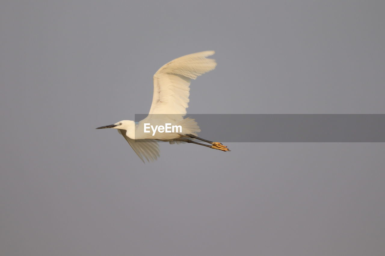 animals in the wild, bird, flying, animal themes, animal wildlife, vertebrate, animal, one animal, spread wings, sky, mid-air, copy space, no people, clear sky, low angle view, nature, white color, day, egret, motion, outdoors, seagull