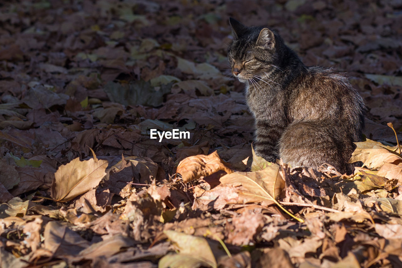 animal themes, animal, mammal, leaf, plant part, one animal, domestic, cat, pets, feline, vertebrate, domestic animals, domestic cat, dry, no people, autumn, nature, looking away, sitting, looking, change, leaves, outdoors, whisker, ginger cat