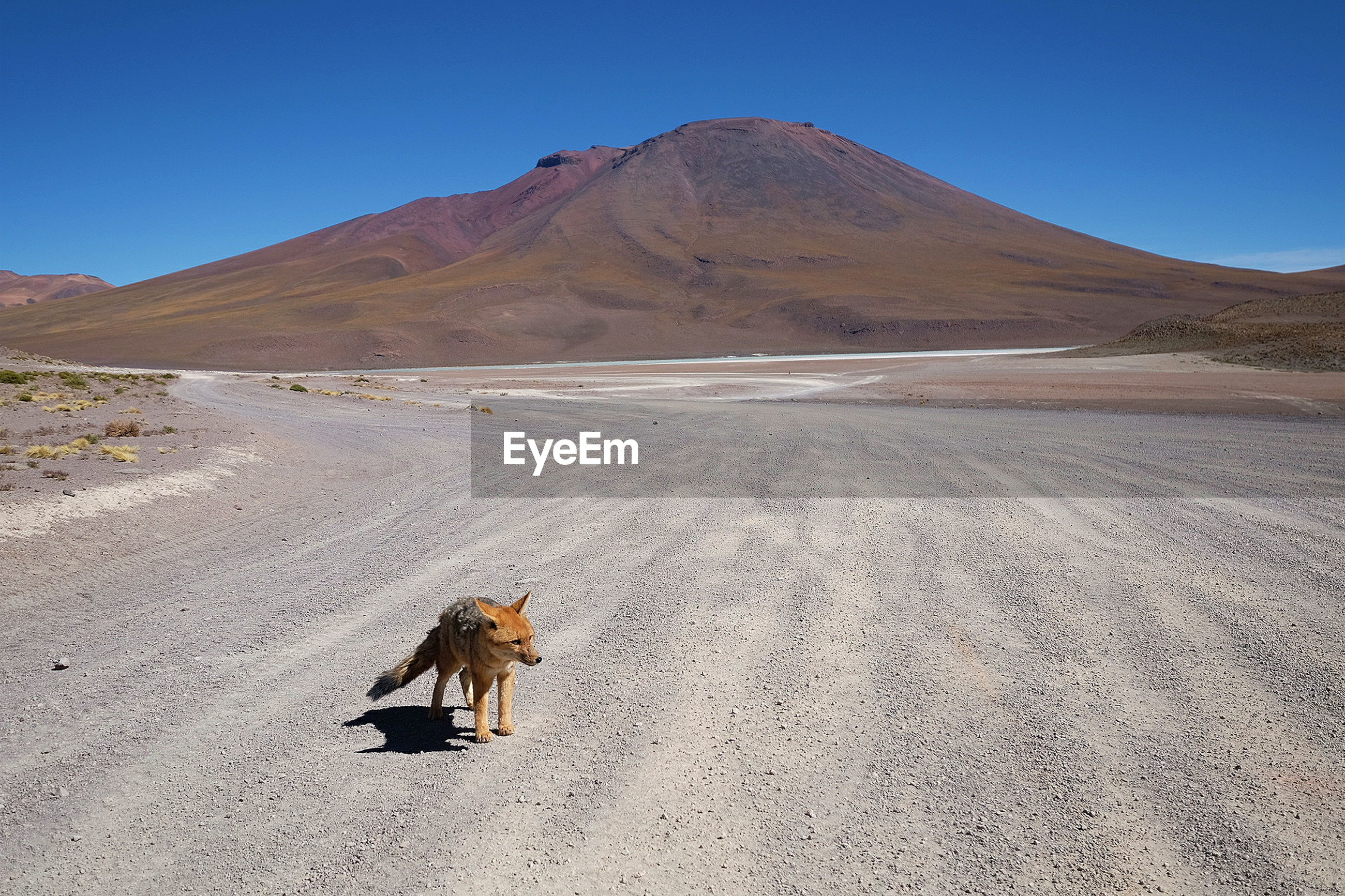 Fox standing on sand against clear sky