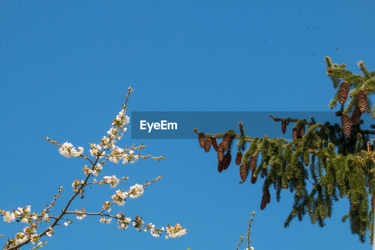 plant, blue, sky, nature, low angle view, tree, growth, no people, clear sky, beauty in nature, day, flower, fragility, flowering plant, branch, vulnerability, animal, animal themes, copy space, animal wildlife, outdoors, cherry blossom