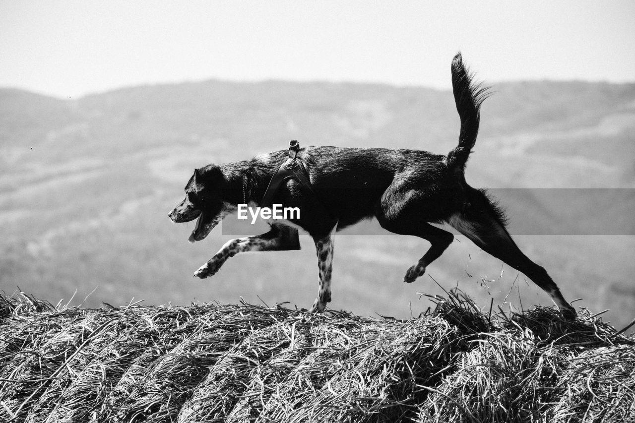 Dog Walking On Hay Bales