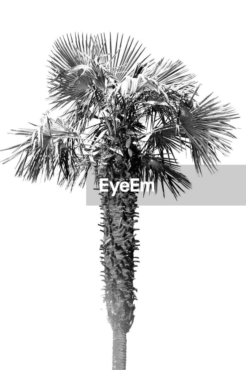 plant, palm tree, tropical climate, tree, sky, growth, low angle view, nature, no people, clear sky, leaf, beauty in nature, trunk, tree trunk, outdoors, copy space, day, white background, plant part, close-up, coconut palm tree, tropical tree, palm leaf