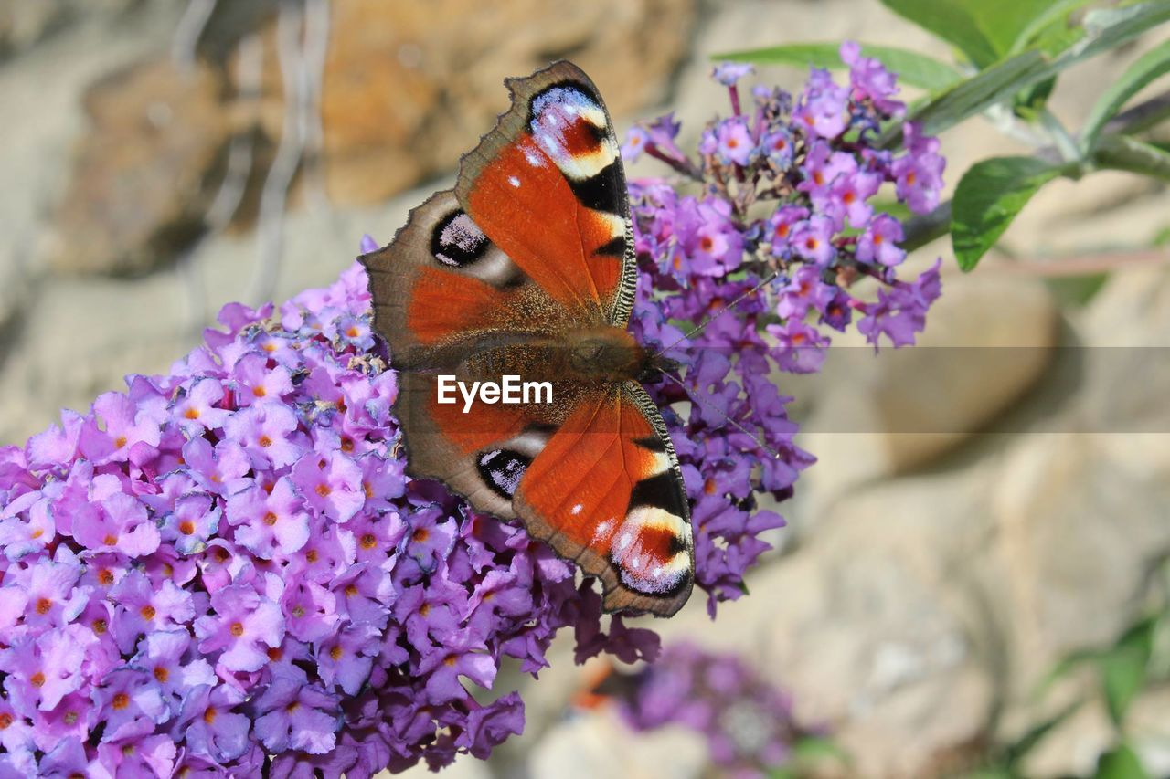 flower, flowering plant, animal themes, animal wildlife, one animal, animal, animals in the wild, plant, fragility, vulnerability, insect, beauty in nature, invertebrate, freshness, petal, close-up, flower head, butterfly - insect, purple, nature, animal wing, pollination, no people, outdoors, lantana