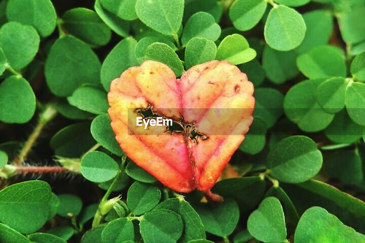 leaf, plant, growth, green color, fruit, nature, freshness, no people, day, close-up, outdoors, red, food, beauty in nature, fragility, flower head