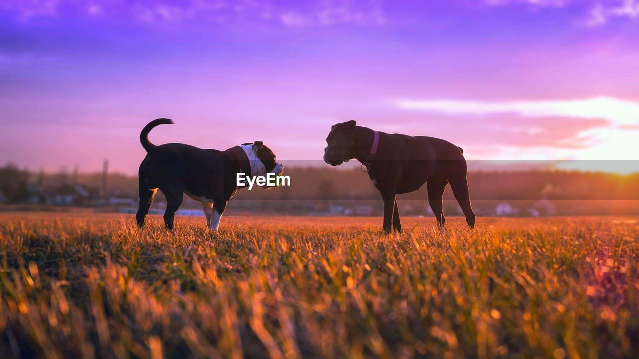 Dogs In A Field At Sunset